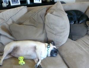 lazy pugs 8-20-09